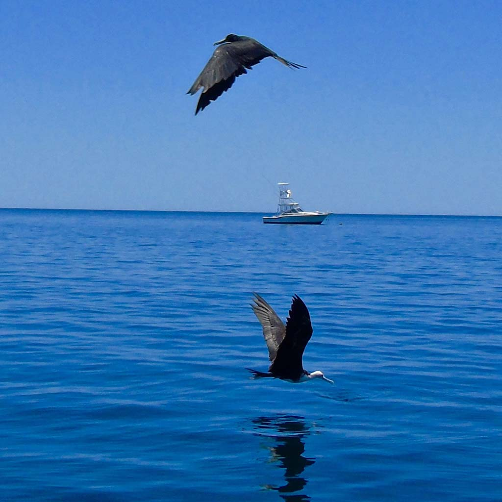 Local birds in Mexico dive the water