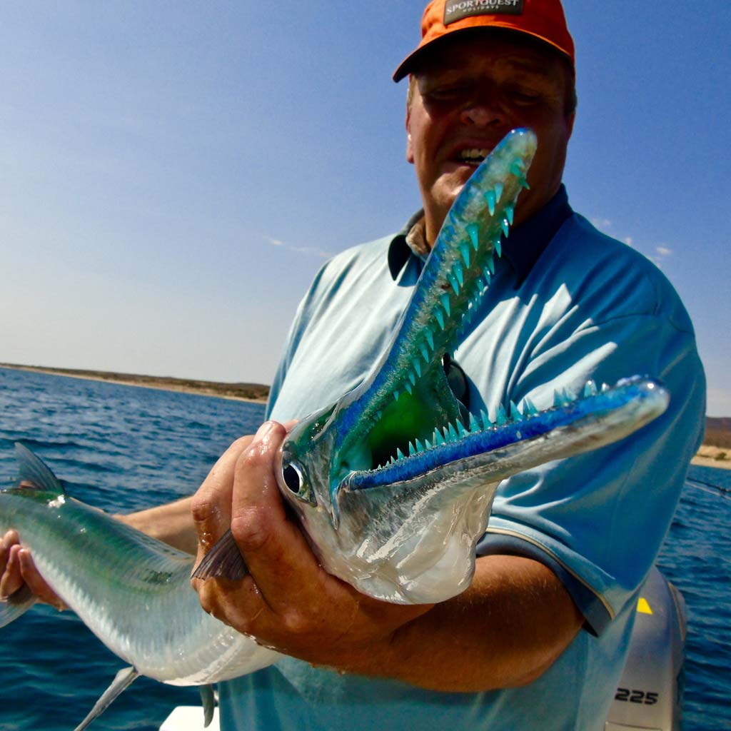 Open mouth needlefish showing blue mouth and teeth